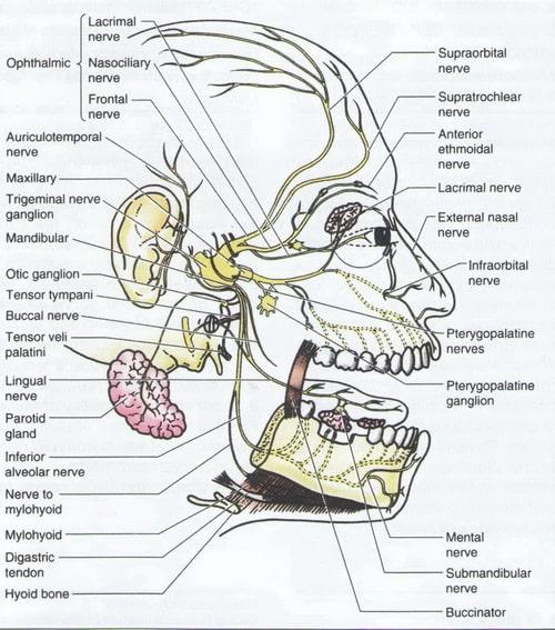 анатомия троичного нерва